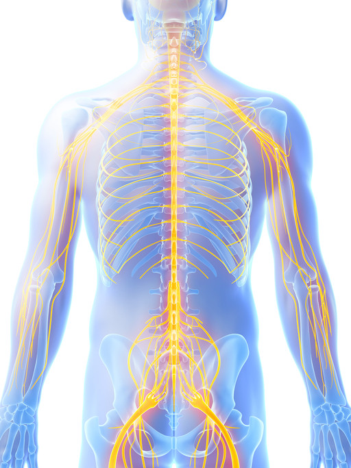 Nervous System Pt Chevalier Chiropractic